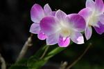 orchideje I