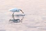 volavka bílá při lovu v moři