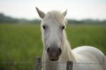 koně v Camargue