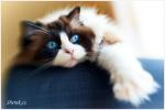 kočka ragdollka