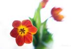 tulipán dokořán