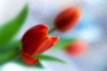tulipány