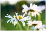 kvetoucí Abbot Valley