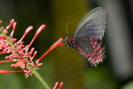 motýli v letu