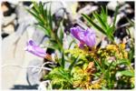 skalní a luční kvítí v oblasti Two Medicine