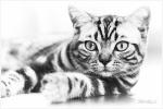 britská mramorovaná kočka černobíle