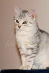 Alaska, britská mramorovaná kočka