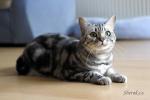 Barnie, britská mramorovaná kočka