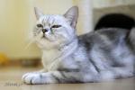 Dominique, britská mramorovaná kočka