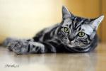 Noir, britská mramorovaná kočka