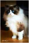 Francesca, kočka plemene ragdoll