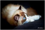 Mandlie, kočka plemene ragdoll
