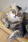 Denney, sibiřský kocour