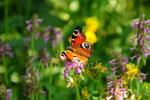 motýli z našich luk
